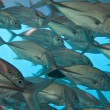 Stock Photo: School of fish