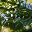Fir close-up - Stock Photo