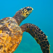 Stock Photo: See turtle