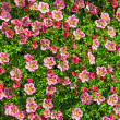 Stock Photo: Saxifrage