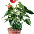 Red anthurium in pot — Stock Photo #21808831