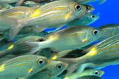 School of fish — Stock Photo