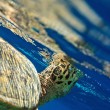 Royalty-Free Stock Photo: Sea Turtle