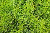 Thuja branches — Stock Photo