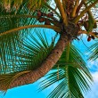 Palm tree with coconut — Stock Photo