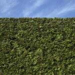 ������, ������: Cedar hedge