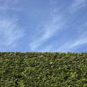 Cedar hedge — Stock Photo
