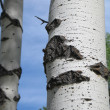 Stock Photo: Birch tree