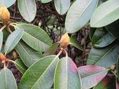Rododendro — Foto Stock