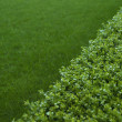 Stock Photo: Green hedge closeup