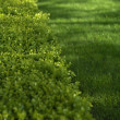 Green hedge closeup — Stock Photo #39761643