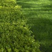 Green hedge closeup — Stock Photo