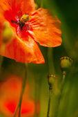 Poppy flower (Papaver rhoeas - Field poppy) — Stock Photo