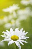 Sunny summer daisy background — Stock Photo