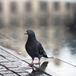 Stock Photo: Pigeon and rain