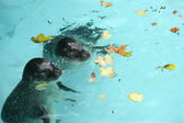 Seals in the pool — Stock Photo