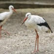 Two herons walking on the ground — Stock Photo