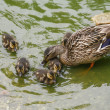 Stock Photo: Mallard duck with chicks