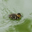 Little duck swims in the water — Stock Photo #29104779