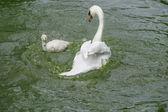 Bílá labuť s její jednotvárněji — Stock fotografie