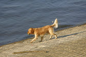 Golden retriever by the river — Stock Photo