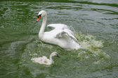 White swan with her cygnets — Stock Photo