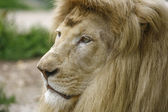 White lion resting — Stock Photo