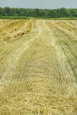 Wheat field after mowing — 图库照片