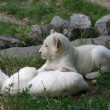 Small white lions playing in the grass — Stock Photo