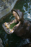Hippopotamus with mouth open eating grass — Stock Photo