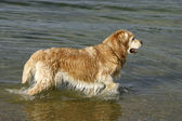Golden retriever is playing in the water — Stock Photo