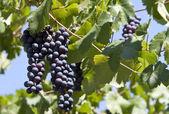 Black Grape Bunch — Stock Photo
