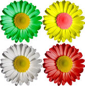 One flower four colors — Stock Photo