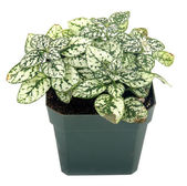 Polka-dot plant hypoestes — Stock Photo