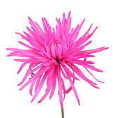 Pink chrysanthemum — Stock Photo