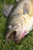 Walleye on the grass close-up — Stock Photo