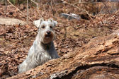 Schnauzer dog in the forest — Stock Photo