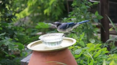 Blue jay drinking water — Stock Video