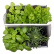 Fresh herb plants — Stock Photo