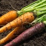 Orange and purple carrot crop — Stock Photo #49286335