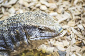 Varanus Exanthematicus — Stock Photo