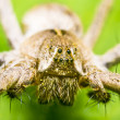 Nursery Web Spider - Stock Photo