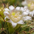 White Cactus Flower - Stock Photo
