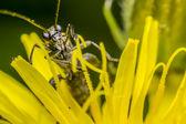 Blister Beetle — Stock Photo