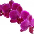 Purple Orchid — Stock Photo #22499345