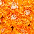 Orange Dahlia — Stock Photo #22932912