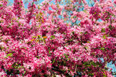 Spring Pink Flowers — Stock Photo