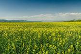 黄色の花のフィールド — ストック写真