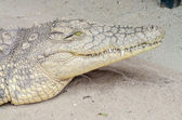 Nile Crocodile — Stockfoto
