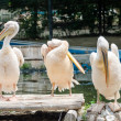 Pelicans Cleaning — Stock Photo